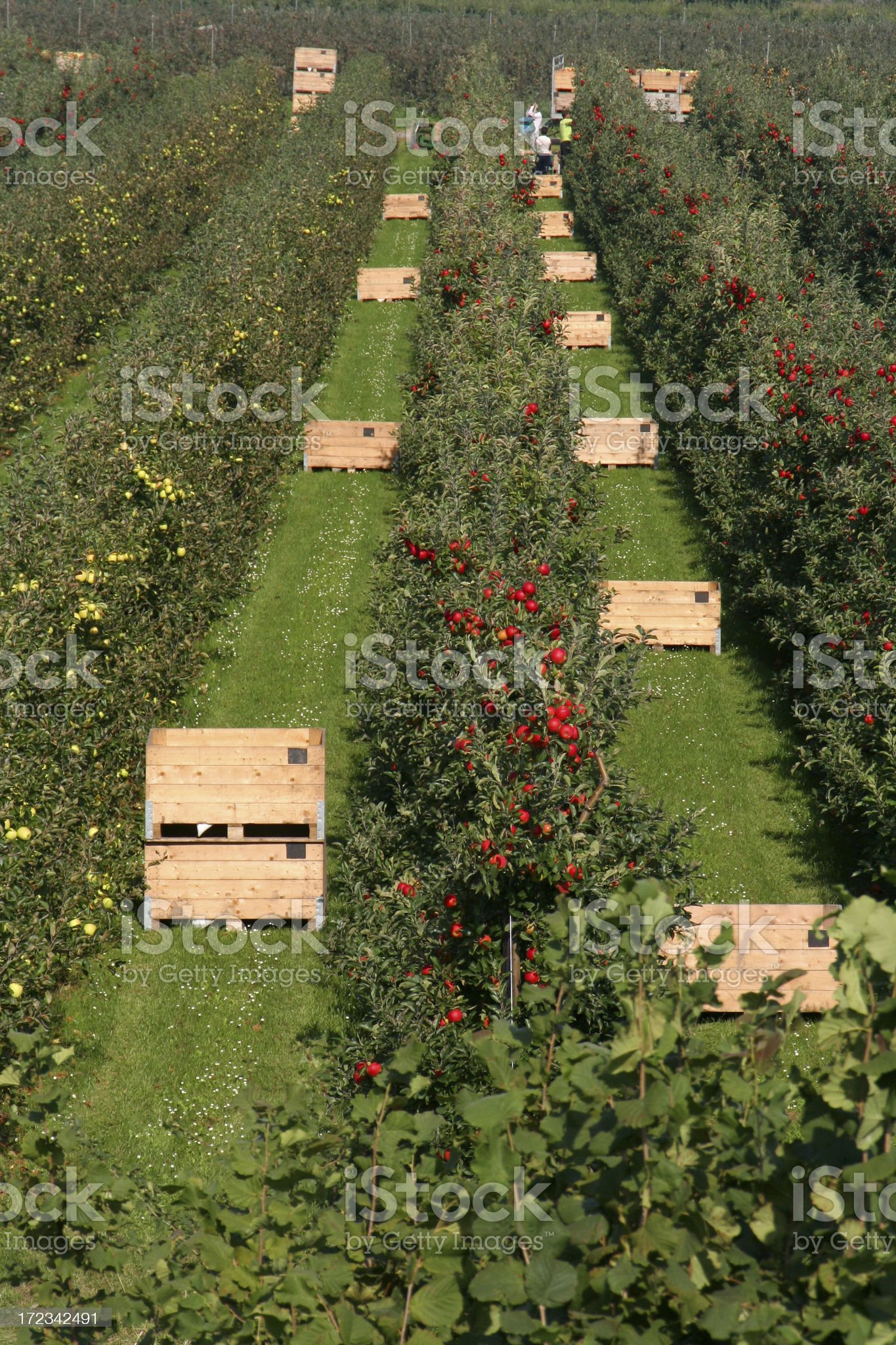 Apples - orchard # 14 royalty-free stock photo