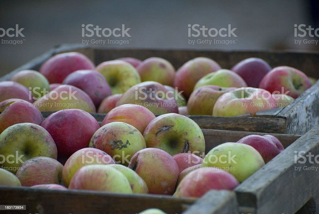 Apples Orchard royalty-free stock photo