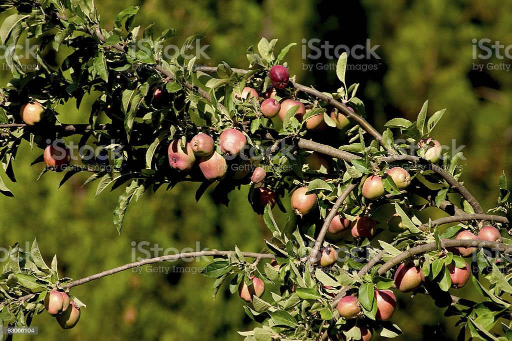 Apples ready for picking royalty-free stock photo