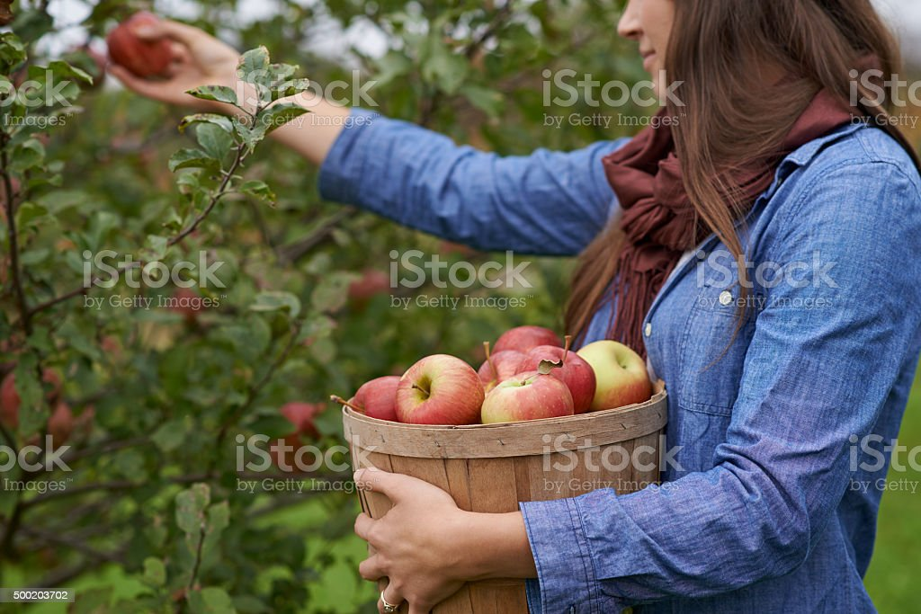 Apples ripe and ready for the picking stock photo