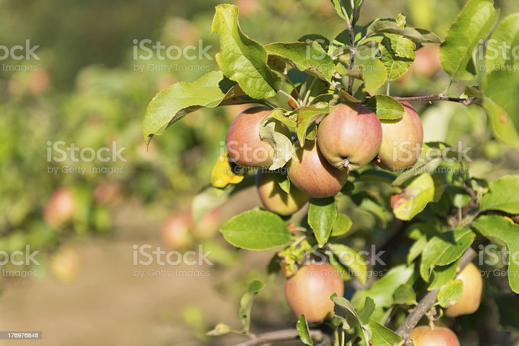 Apples Ripening in Orchard royalty-free stock photo
