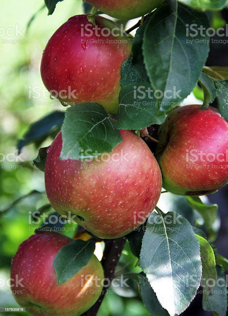 Apples Ripening on the Tree stock photo