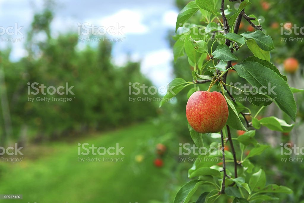 Apples still on trees at an orchard royalty-free stock photo