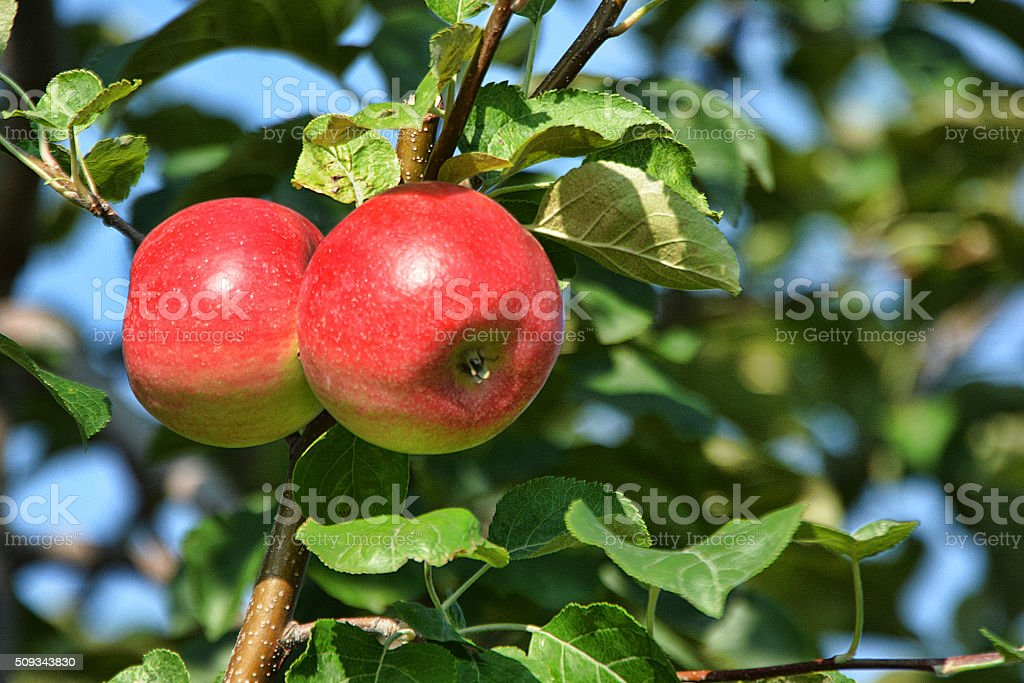 Apples Two on Blue stock photo