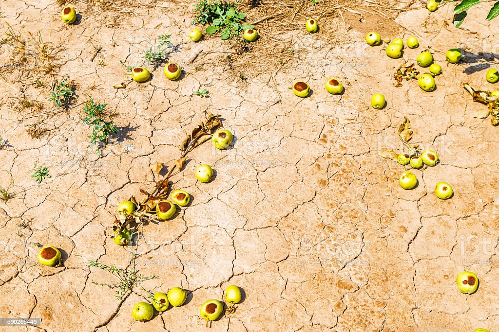 Apples with punches on the ground by a hailstorm stock photo