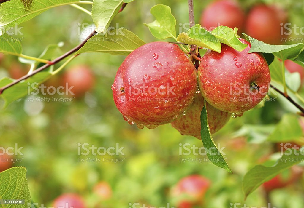 Apples with Raindrops royalty-free stock photo