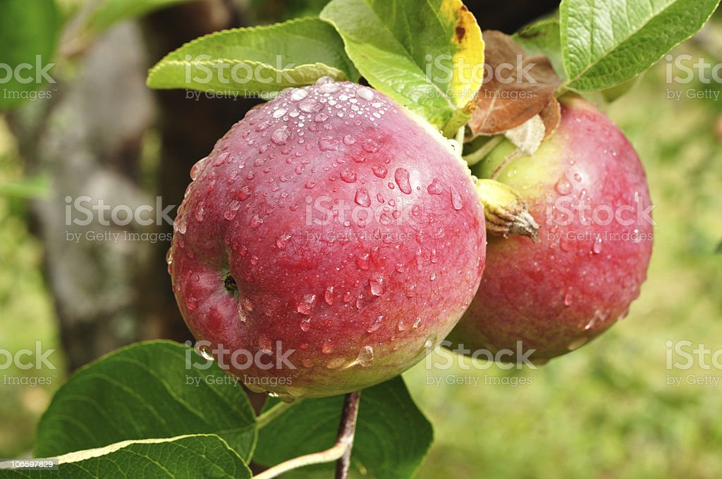 Apples with Raindrops stock photo
