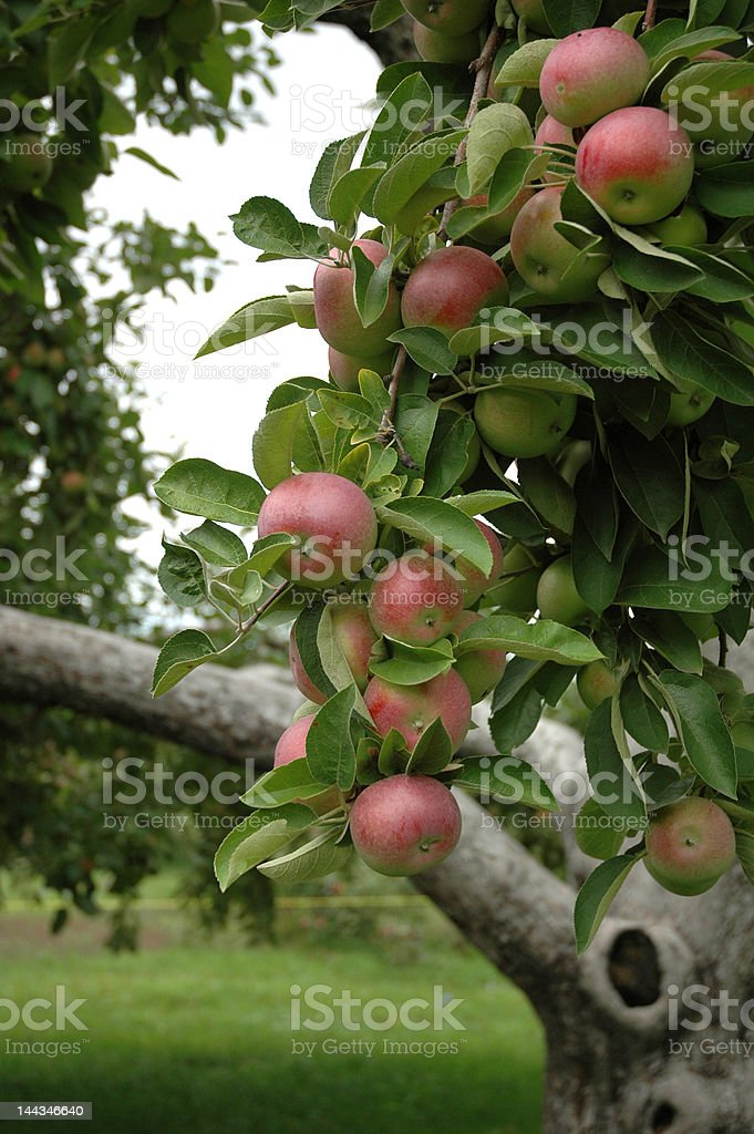 Apples with Tree in background royalty-free stock photo