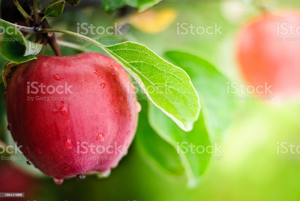 Apples with water dripping on them stock photo