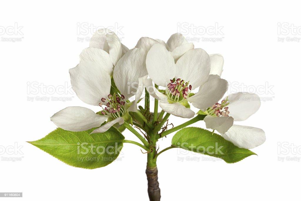 apple-tree blossom royalty-free stock photo