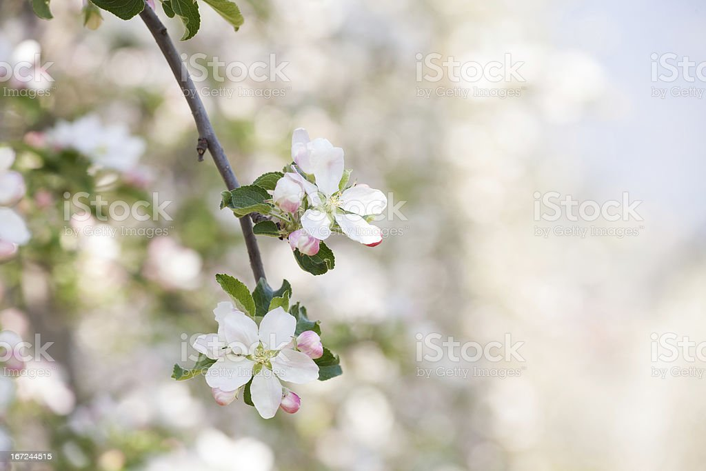 appletree blossoms with defocused background royalty-free stock photo