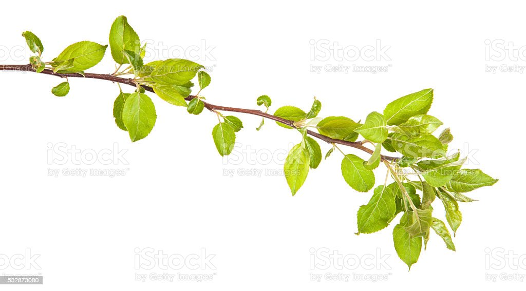 apple-tree branch with green leaves. isolated on white backgroun stock photo