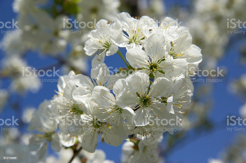 appletree flowering royalty-free stock photo
