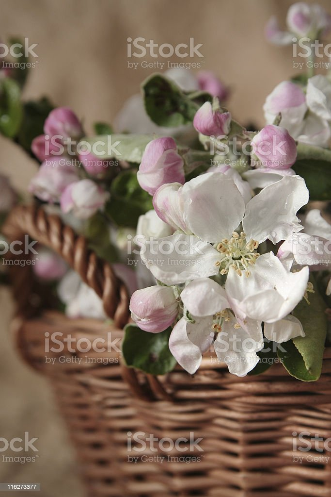 Apple-tree flowers royalty-free stock photo