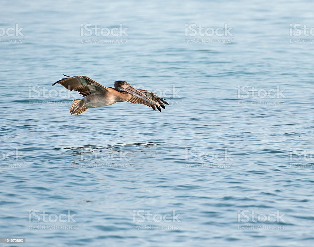 Approach to land - Brown Pelican, Galapagos Islands stock photo