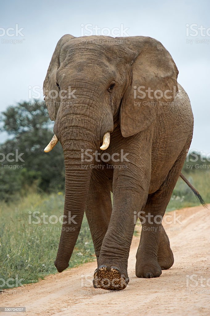Approaching Elephant stock photo