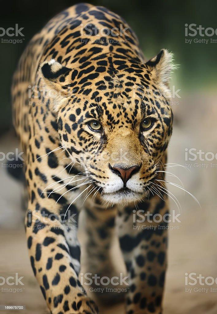 approaching jaguar stock photo