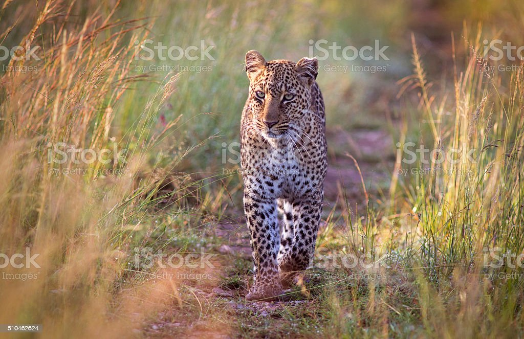 Approaching leopard royalty-free stock photo
