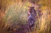 Approaching leopard