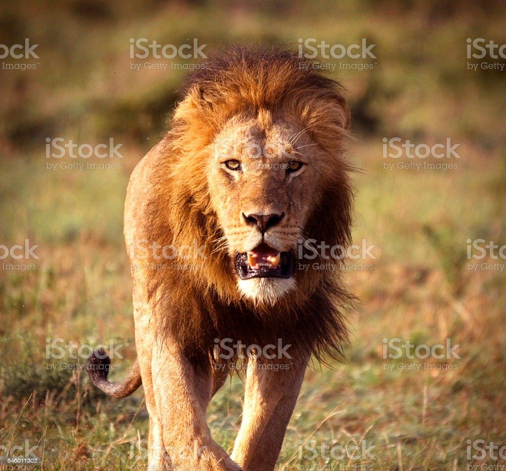 Approaching lion stock photo