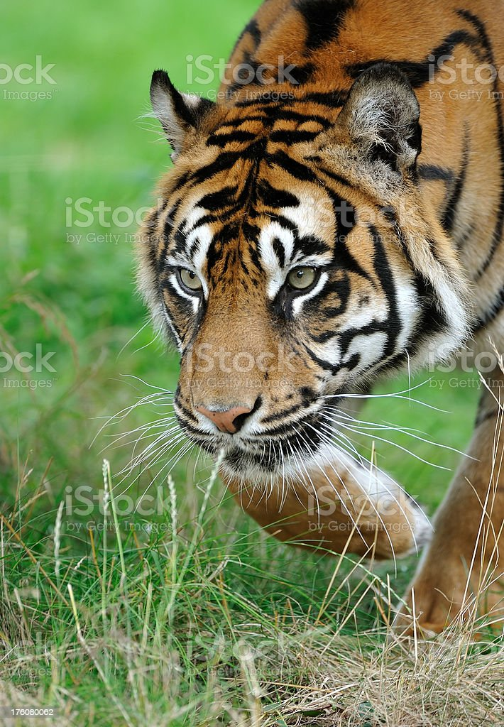 approaching tiger royalty-free stock photo