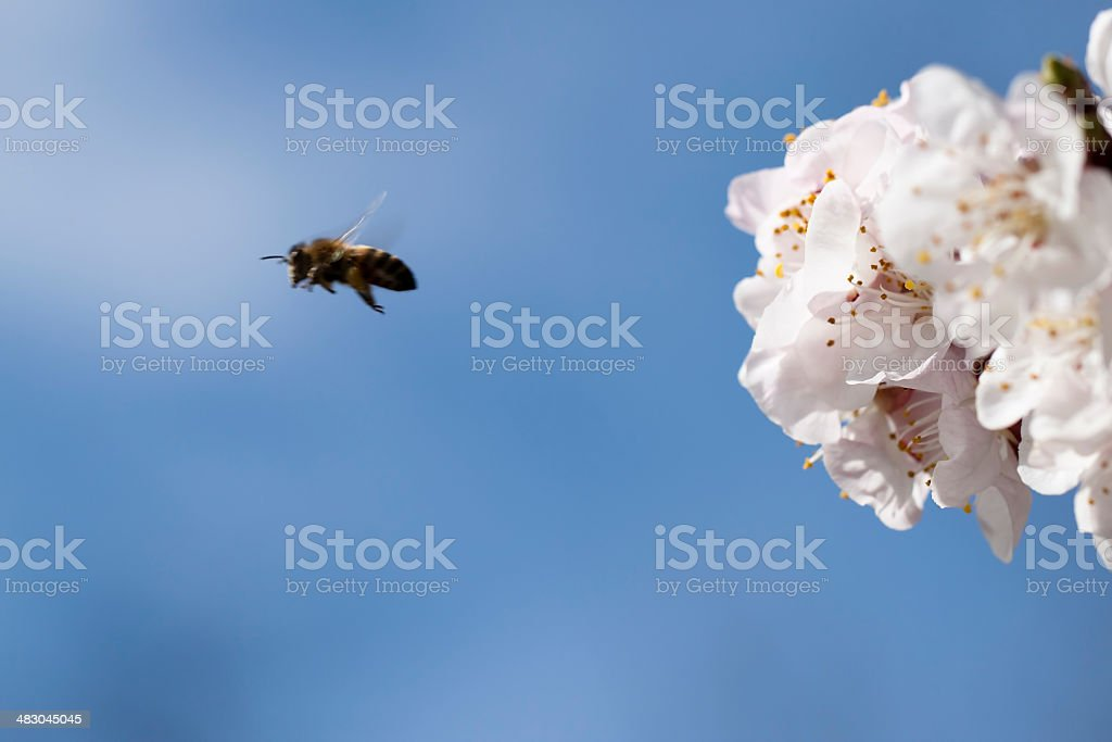 Aprecot's Flowers With A Flying Bea, Copy Space royalty-free stock photo