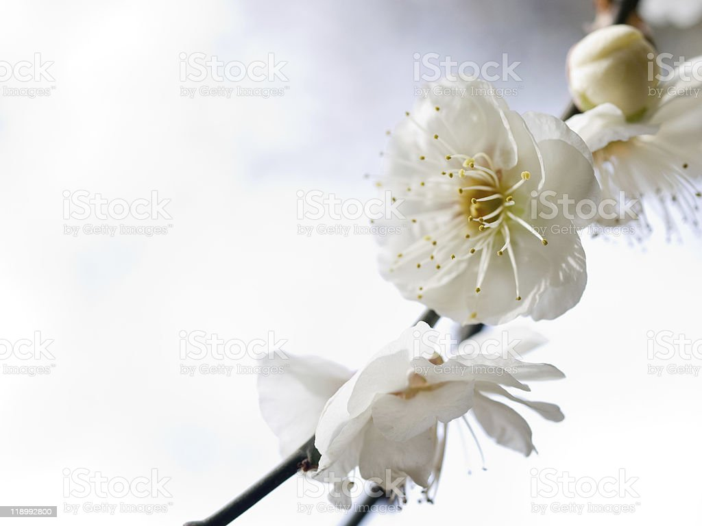 apricot blooming stock photo