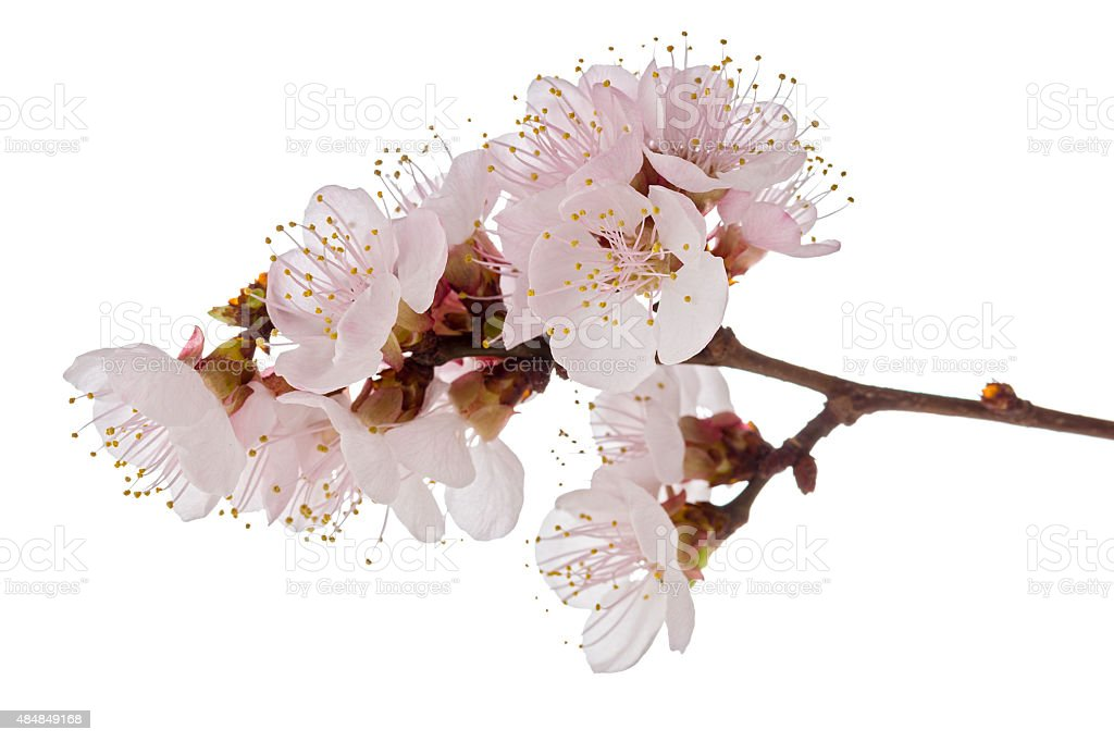 apricot blossom brunch stock photo