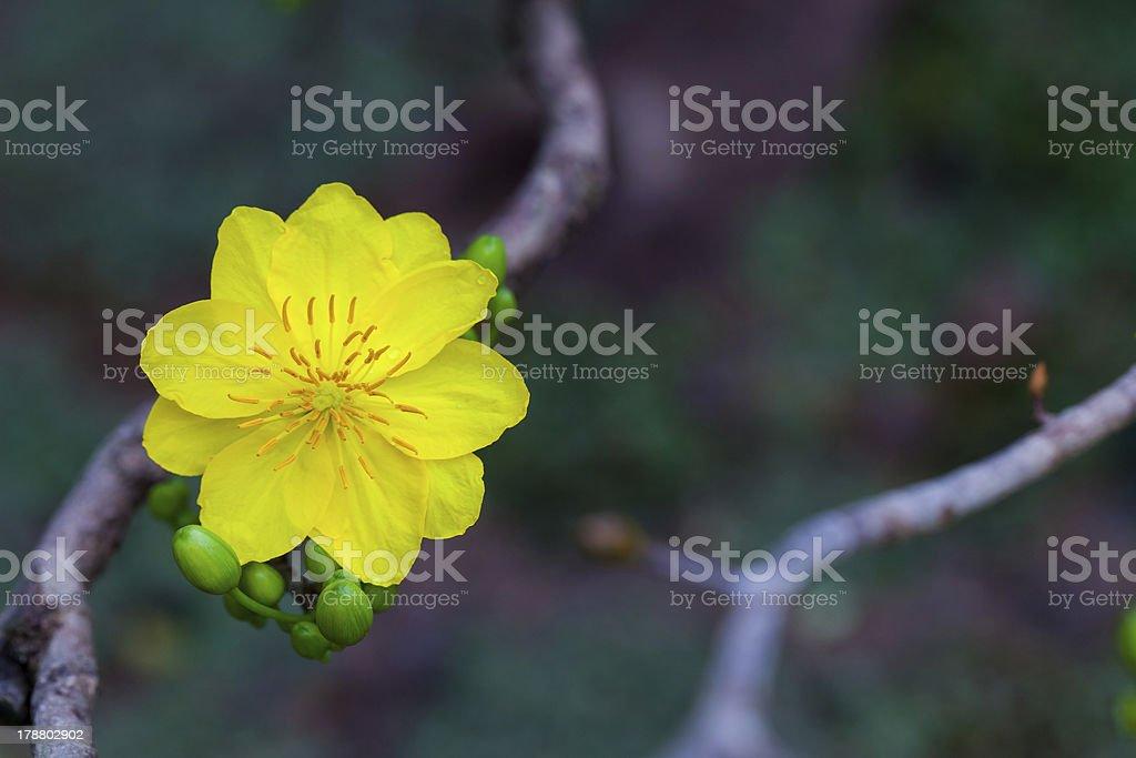 apricot blossom - Hoa Mai royalty-free stock photo