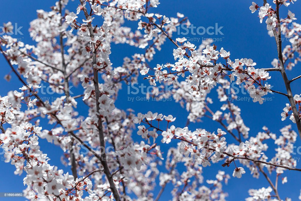 Apricot blossom in spring time stock photo