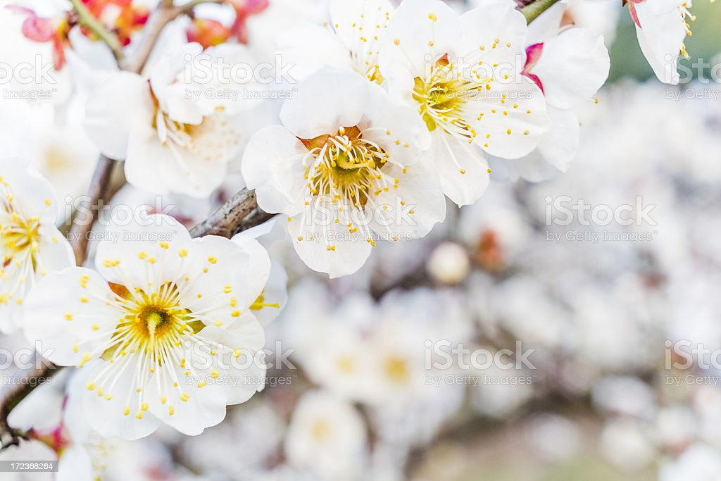 Apricot blossom in the spring royalty-free stock photo