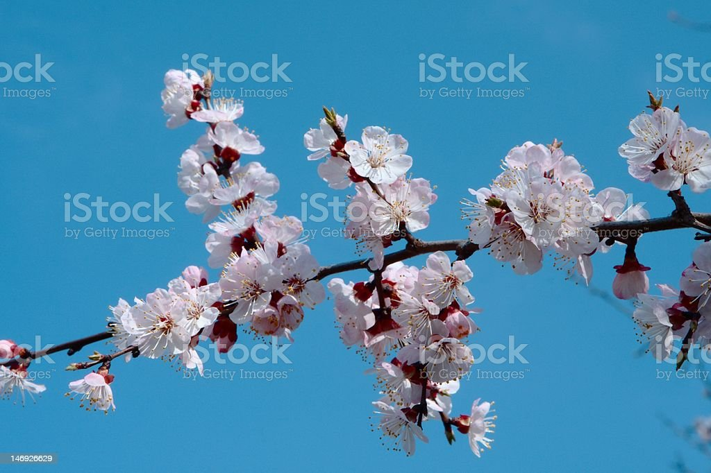 Apricot blossom isolated on blue stock photo