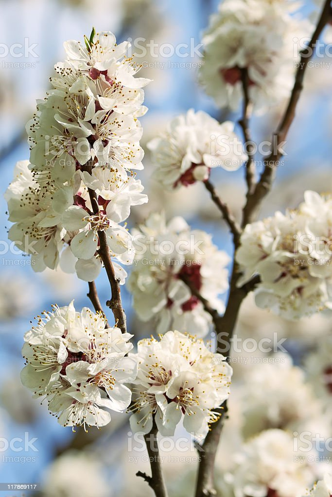 Apricot Blossom royalty-free stock photo