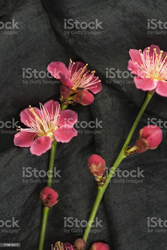 Apricot Blossom. stock photo