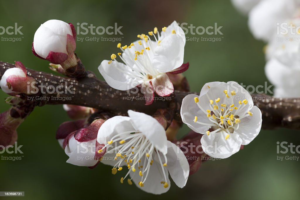 Apricot blossom royalty-free stock photo