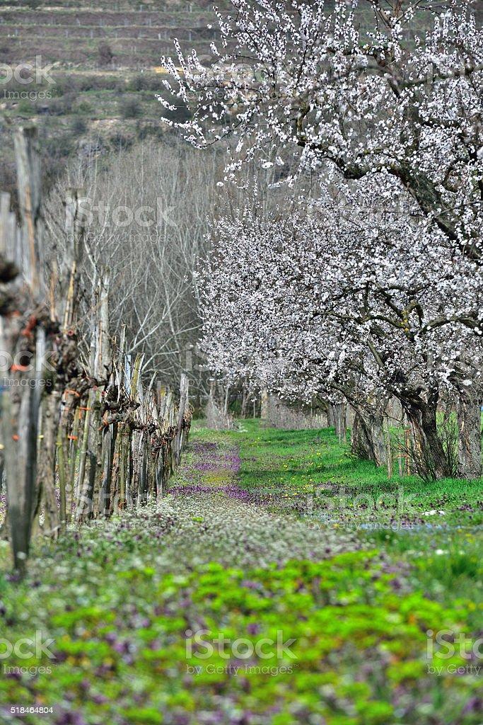 Apricot Blossoming in Wachau/Austria stock photo