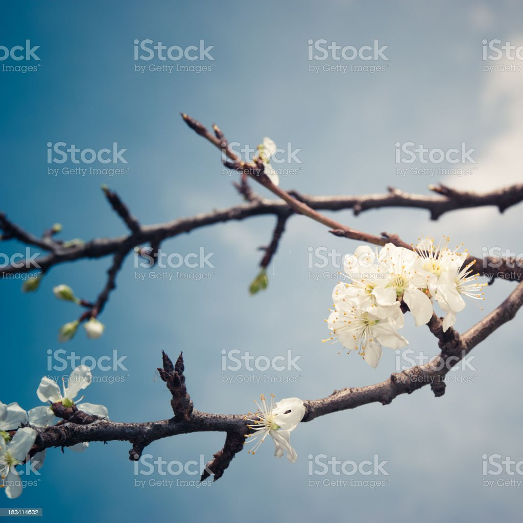 Apricot Blossoms flower on wild spring royalty-free stock photo