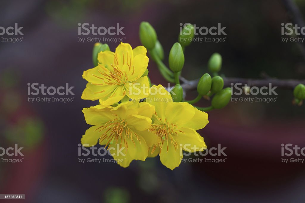 Apricot blossoms in Lunar new year at Vietnam royalty-free stock photo