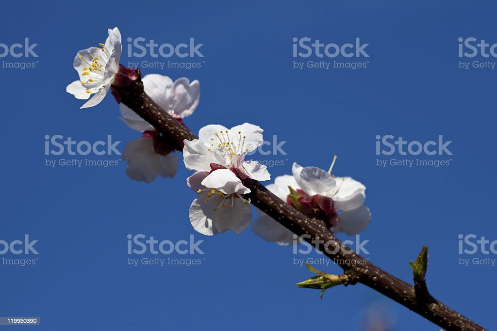 Apricot blossoms royalty-free stock photo