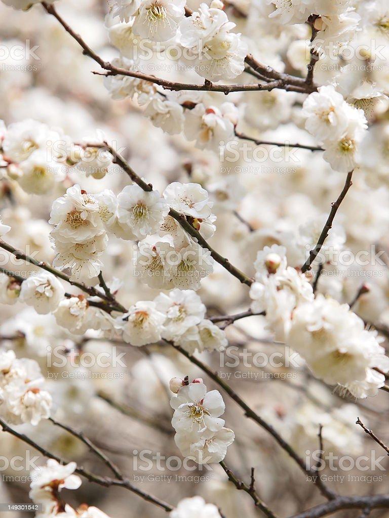 apricot blossoms stock photo