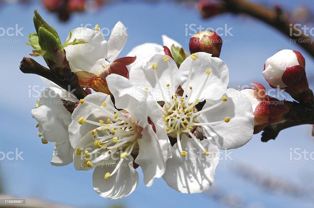 apricot blossoms, Prunus armeniaca royalty-free stock photo