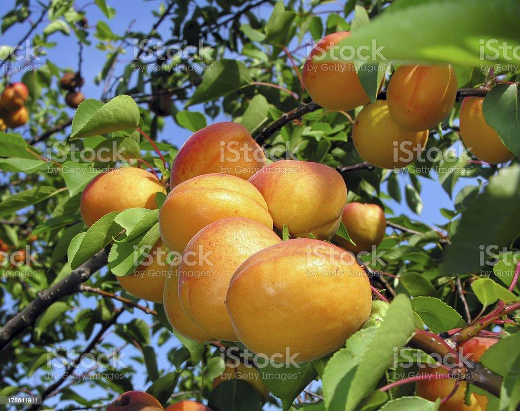 apricot branch stock photo