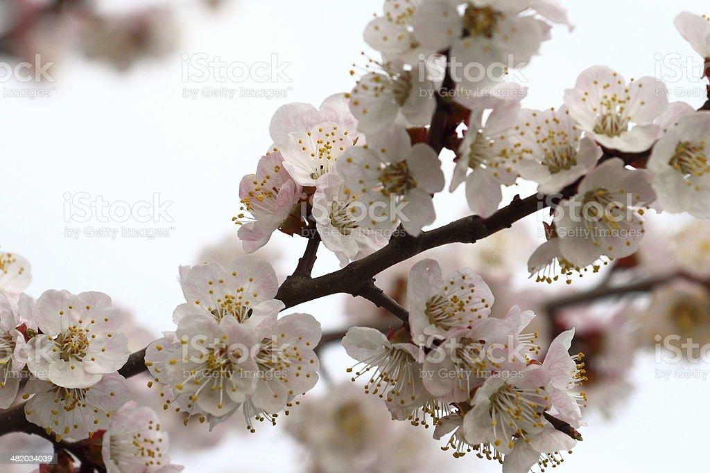 Fleurs abricot. photo libre de droits