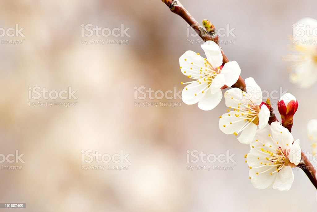 Apricot flowers. royalty-free stock photo
