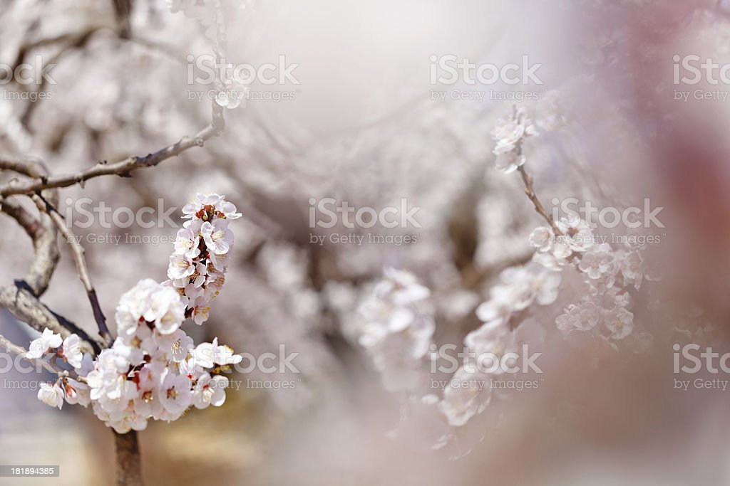 apricot flowers royalty-free stock photo