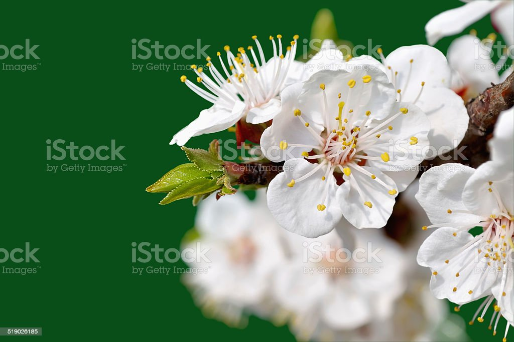 Apricot flowers stock photo