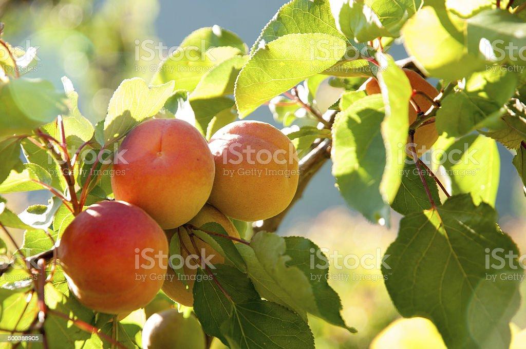 Abricot sur l'arbre stock photo