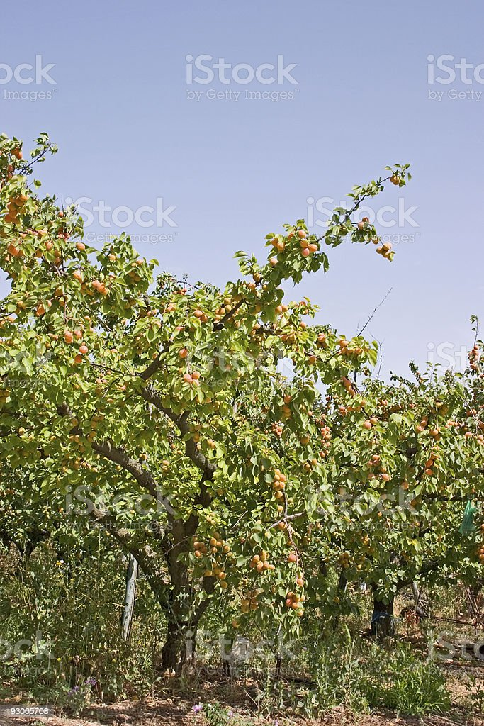 Apricot orchard royalty-free stock photo