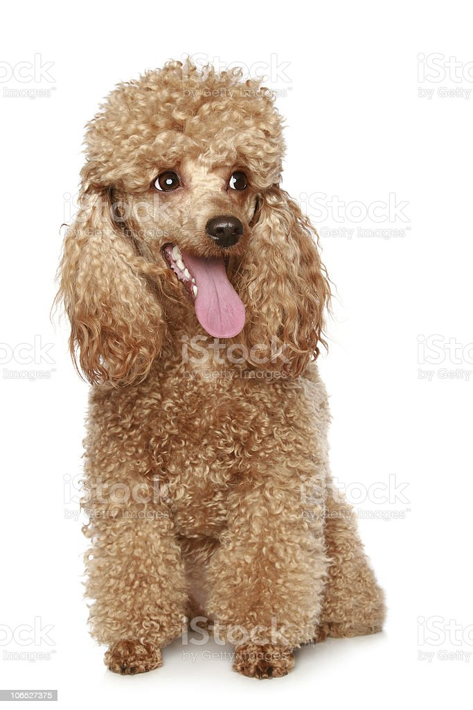 Apricot poodle puppy royalty-free stock photo