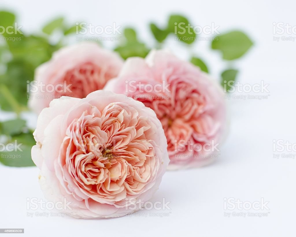 Apricot Roses (Abraham Darby Rose) stock photo